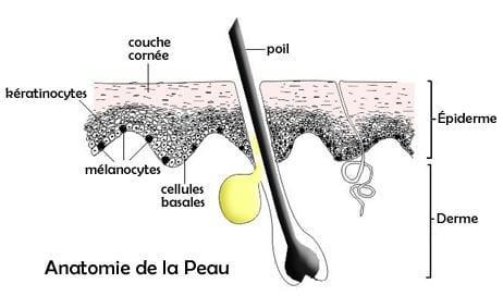 Structure de la peau pour expliquer le cancer de la peau