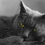 Un Chat. Image Copyright © Pittou2