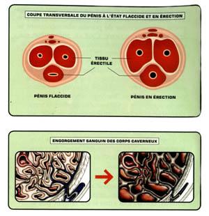 Anatomie d'une erection