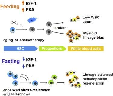 Prolonged fasting downregulates a IGF-1/PKA pathway in stem cells