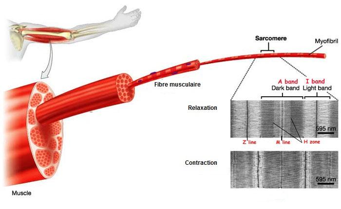 Structure musculaire et mécanisme de la contraction